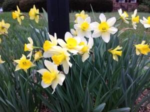 daffodil spring2015